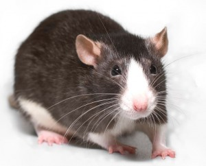 Rodent Breeder Diet