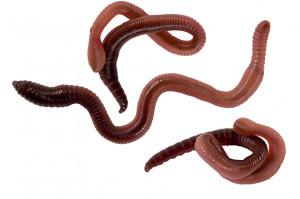 Earthworm Chow