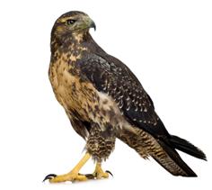Bird of Prey Gel