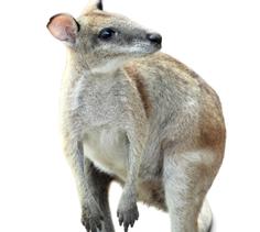 Kangaroo and Wallaby Diet