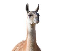 Camelid Zoo Feeds