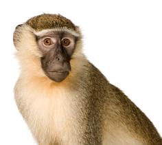 Monkey Crunch