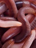 Earthworm Chow  #5128