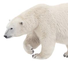 Polar Bear Diet