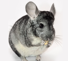 Chinchilla Feeds www.exoticanimalsupply.com #exoticanimals