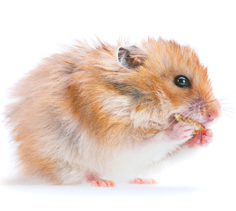 Hamster and Gerbil Diet