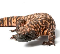 Carnivorous Reptile Gel