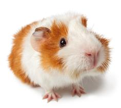 Guinea Pig Diet 5E11