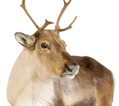 Reindeer Feeds