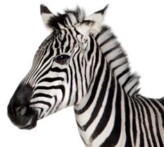 Zebra Pellets